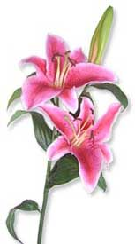 ABC Flowers St. Vincent's Hospital Fitzroy Melbourne Deliver B005 Bunch of premium pink or white oriental lily to St. Vincent's Hospitals Melbourne