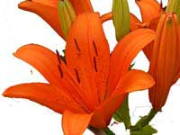 ABC Flowers St. Vincent's Hospital Melbourne Fitzroy deliver B007 Bunch of tiger lily to st vincent;s hospitals melbourn only