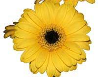 ABC Flowers st. vincent's hospital fitzroy melbourne deliver b024 bouquet of premium gerberas to st. vincent's hospitals melbourne only